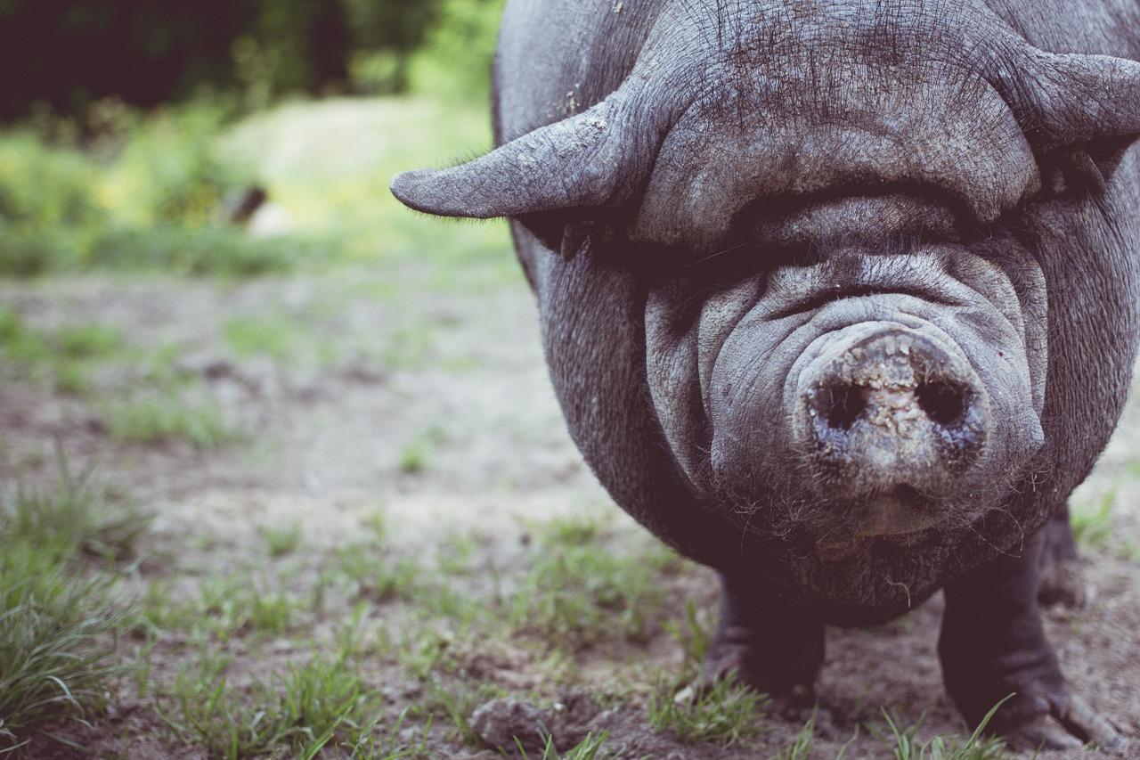 Radzyńskie typy – Iczke Świnia