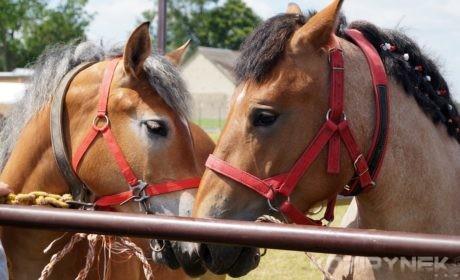 Czempionat koni